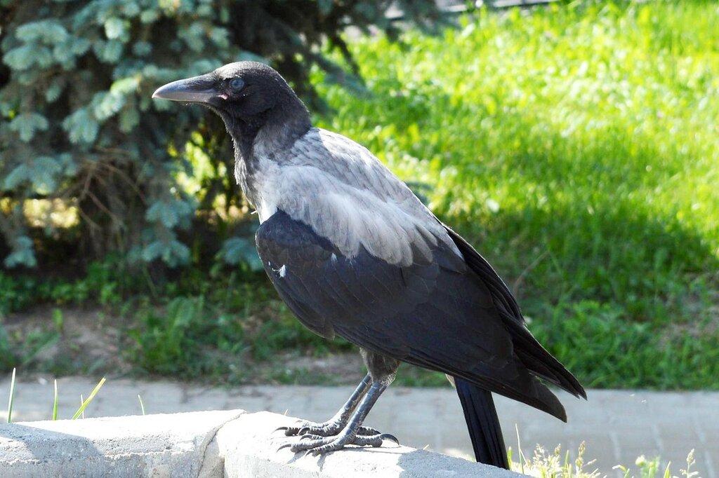 добавила картинки голубей ворон воробьев для