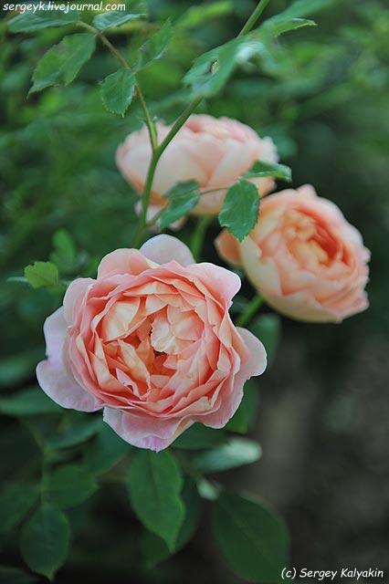 Rosa Lady of Shalott (1).JPG