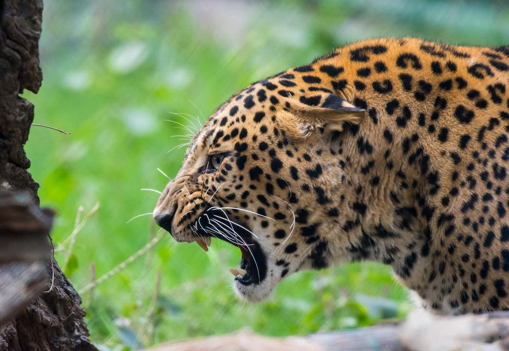 Аравийский леопард (Panthera pardus nimr) Это практически исчезнувший подвид. Последний подсчет