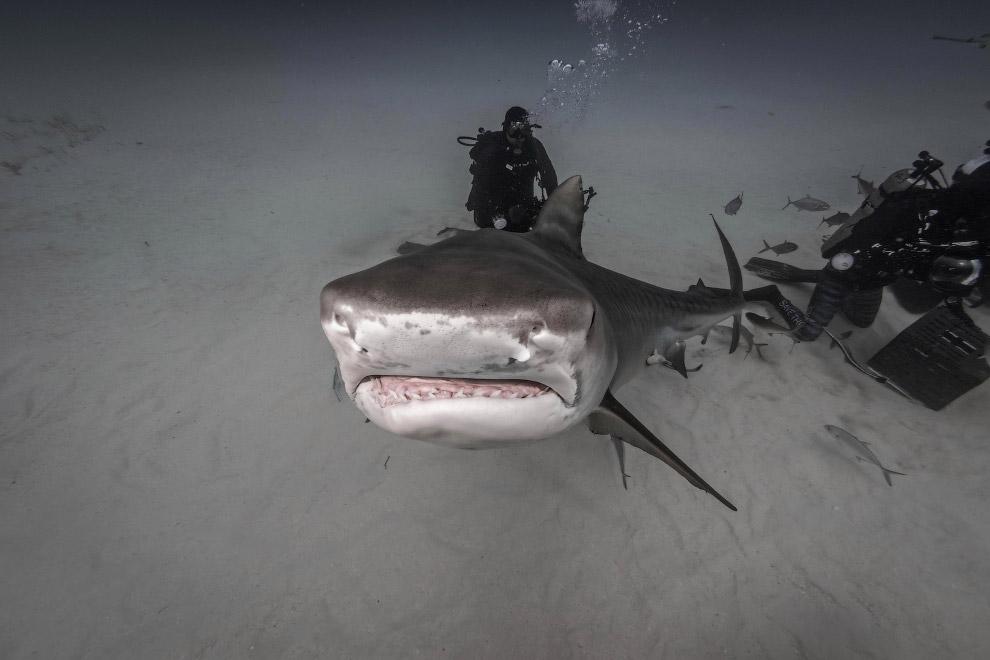 12. Подводная встреча с акулами на Багамах. (Фото Steve Hinczynski):