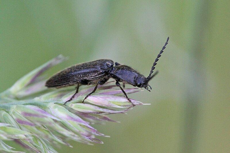 Жук-щелкун на метелке злака с удлинённым телом чёрного цвета, чёрными лапами, покрытой волосками спинкой. Вероятно, щелкун волосатый (лат. Hemicrepidius hirtus)