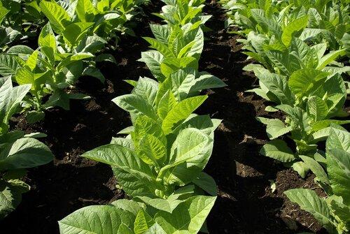 Табачные плантации Молдовы уменьшились в пять раз