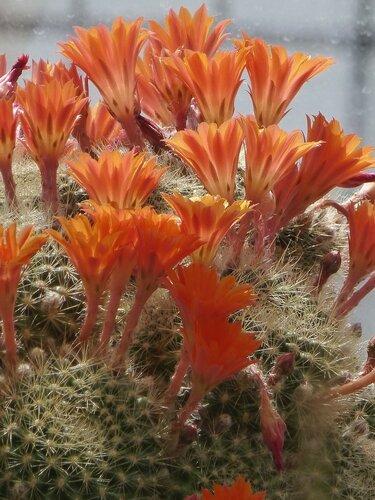 Пламя цветущего кактуса