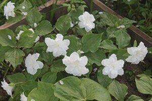 Редкие растения в наших садах - Страница 7 0_16e0bd_747cb83b_M