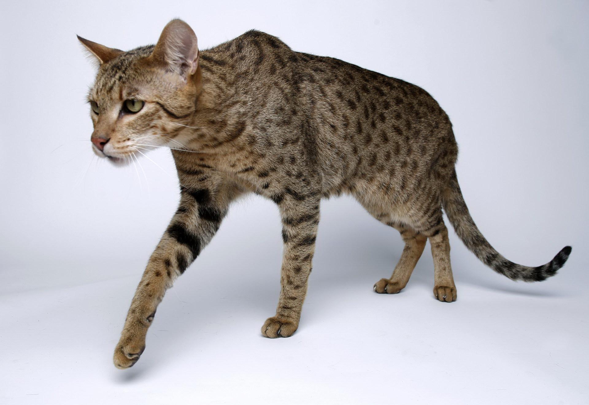 Граціозна кішечка
