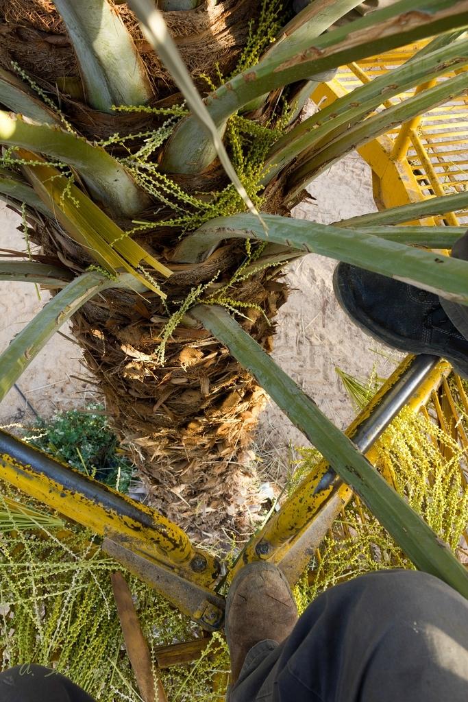 18. Человек выращивает финики порядка 6000 лет. Особенность плода финиковой пальмы в большом процент