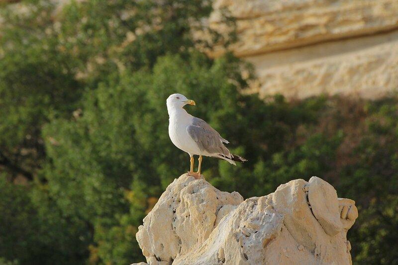 Средиземноморская чайка (Larus michahellis) на камне около мыса Фиолент в Крыму