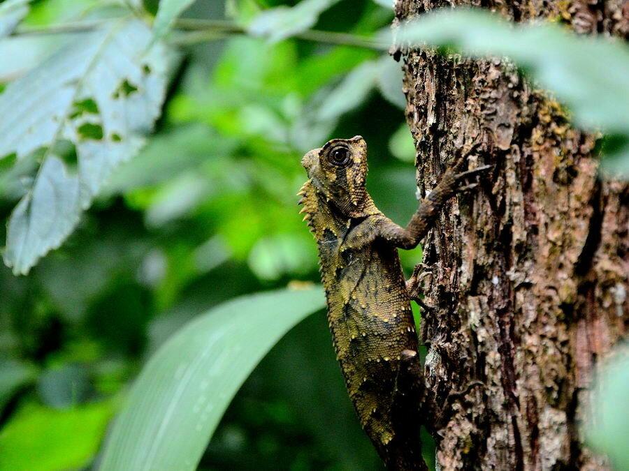 Gonocephalus chameleonitus