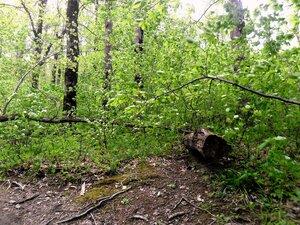 В лесу весеннем ... SAM_6692.JPG
