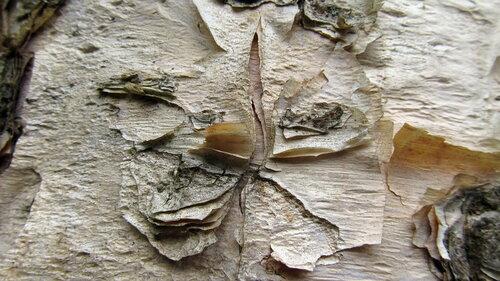 Берёза бумажная (Betula papyrifera) Автор: Лариса Петрович