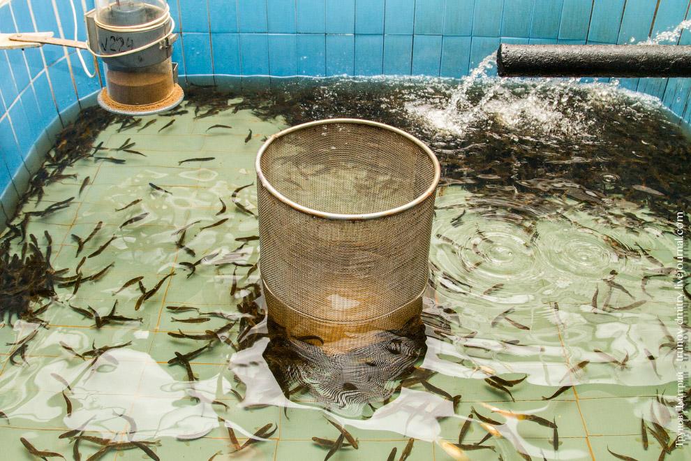 15. Теперь о системе кормления. Смысл прост — все кормушки завода кормят рыбу сами. Ответственн