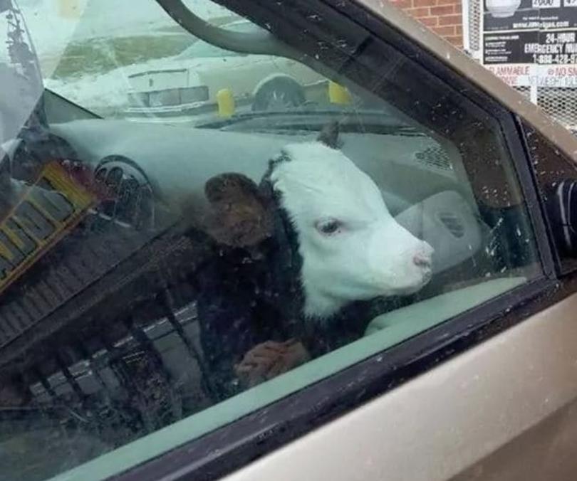 Неожиданный пассажир. Как бы не пришлось потом делать химчистку салона…