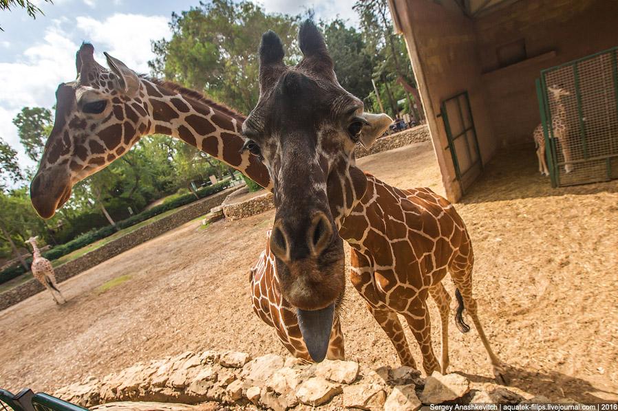10. Возраст жирафа можно определить по цвету пятен на шкуре — чем они темнее, тем старше особь.
