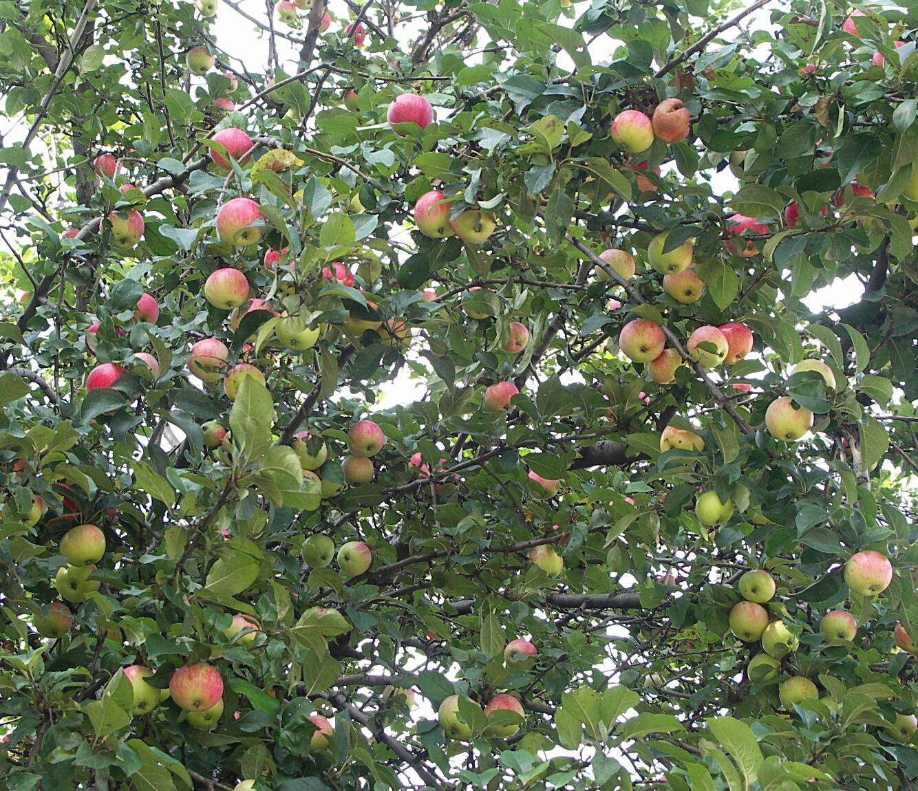 трамвайная яблоня