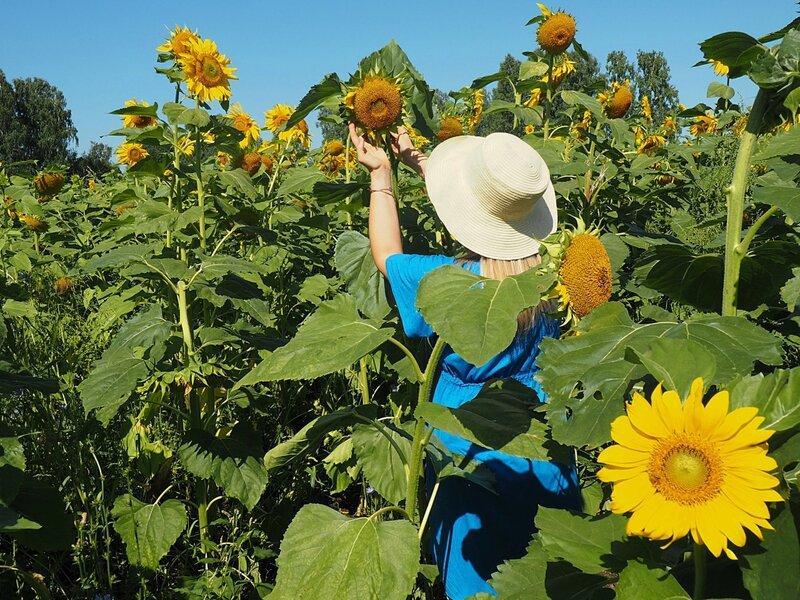 Россия, Алтай - подсолнухи (Russia, Altai - sunflowers)
