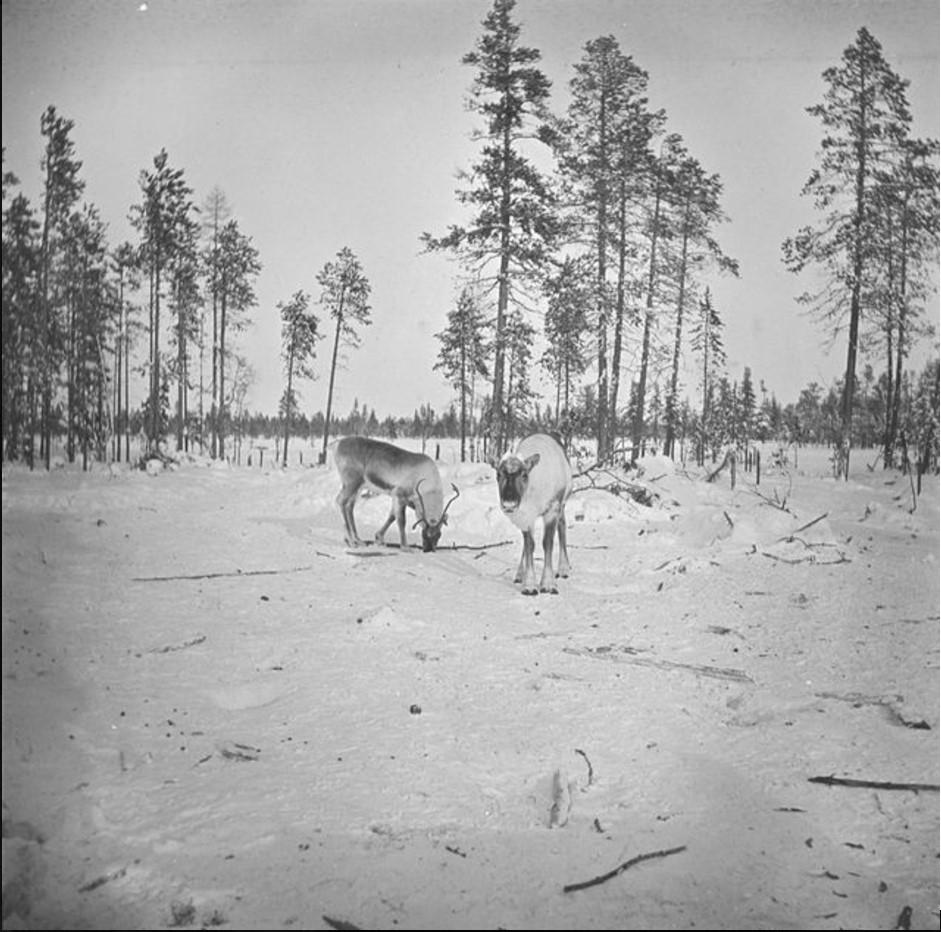 Олени в заснеженном лесу