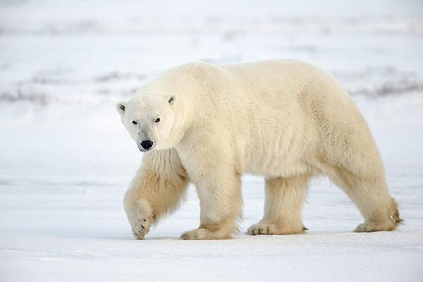 Международный день полярного медведя. Белый медведь