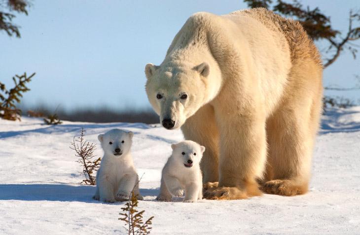 1. Белый медведь — один из самых крупных наземных представителей млекопитающих отряда хищных (уступа