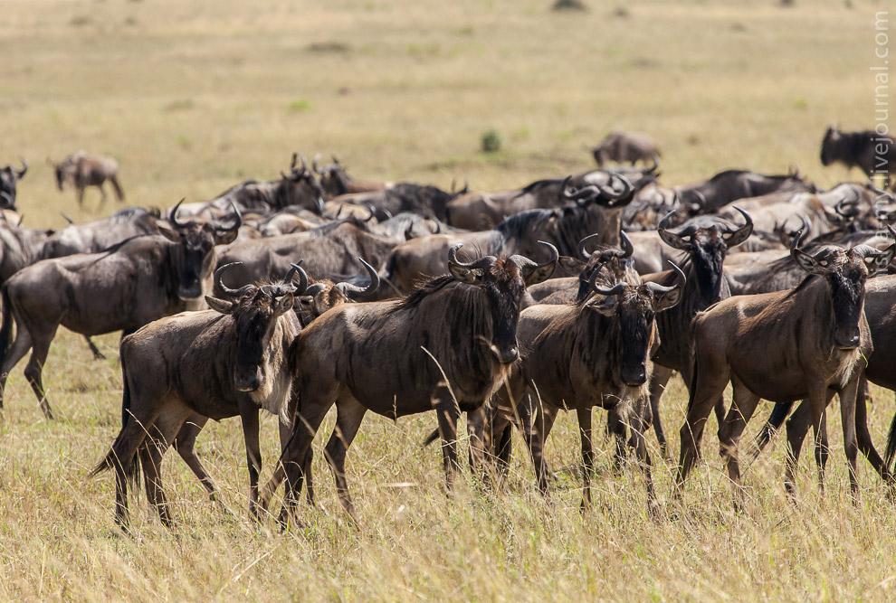 23. Мы доехали до реки Мара, прямо на границе с Танзанией. По берегам реки в больших количествах леж