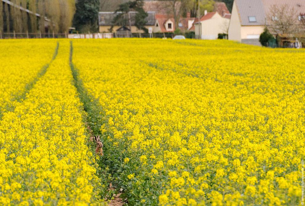 Во время цветения рапса в полях очень необычная атмосфера. Пахнет травами и мёдом (рапс — хороший ме
