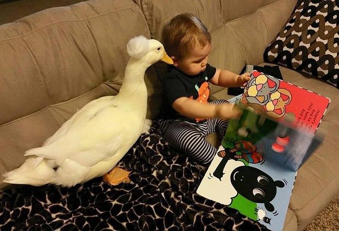 Утка Бикер стала защитницей и верным другом для ребенка