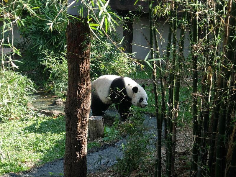 Чиангмай - Зоопарк - Панда наматывает круги