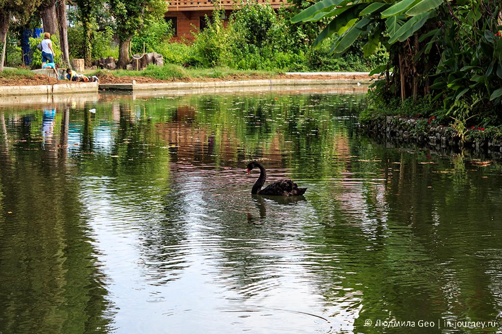 черный лебедь в Приморском парке Нового Афона