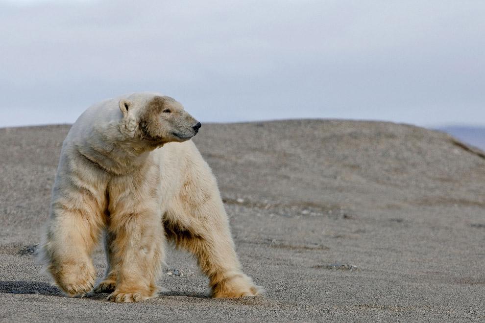 8. Врангель считается одним из последних мест на земле, где выжили мамонты. (Фото Sergey Gorshkov |