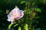 Роза.Лето
