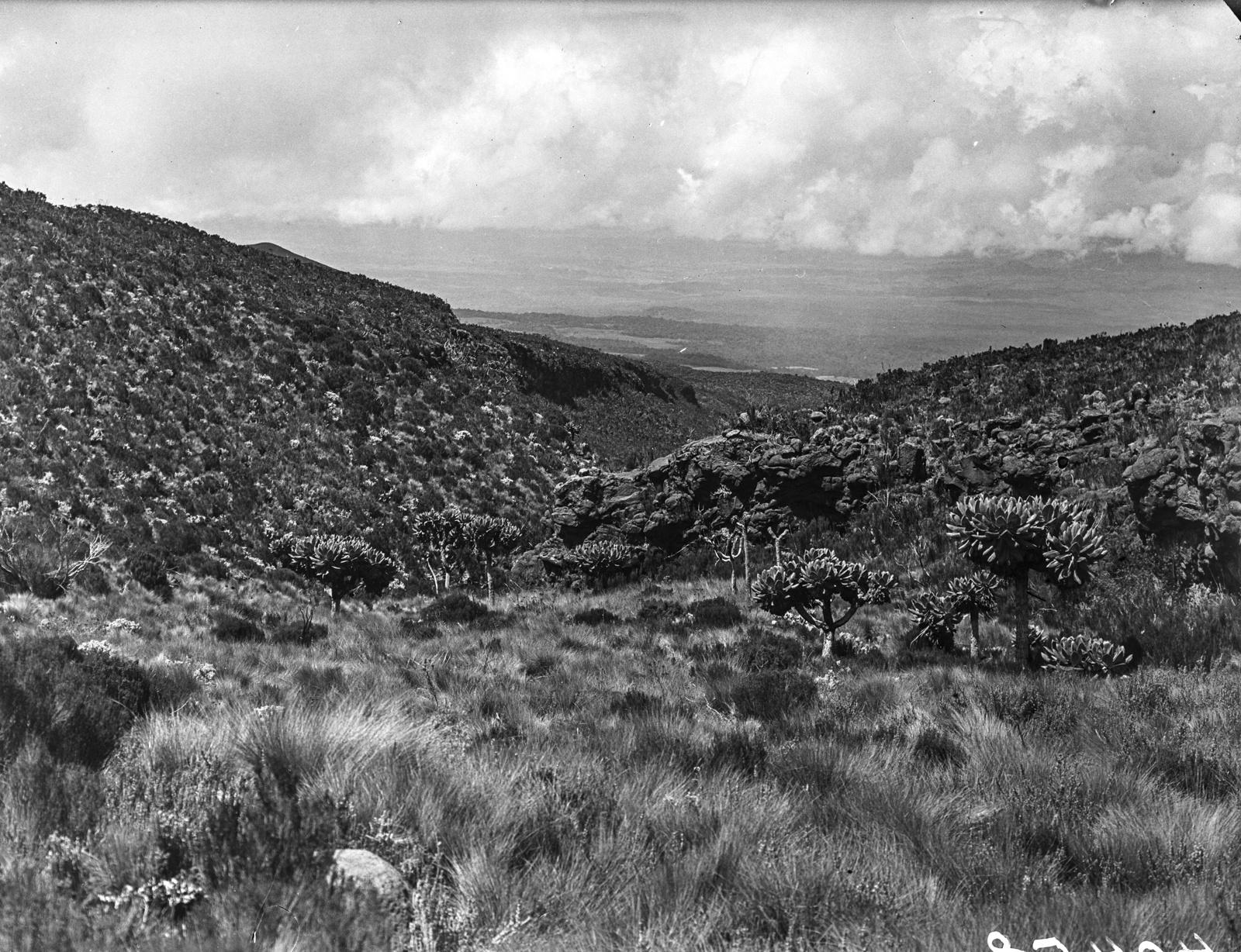 163. Растительность (включая Сенецио Джонстония) на высоте 3600 м.