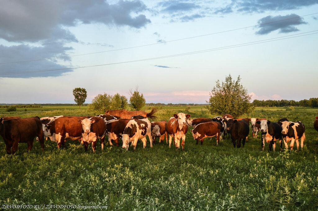 Если хочешь быть здоров, потребляй дары коров!