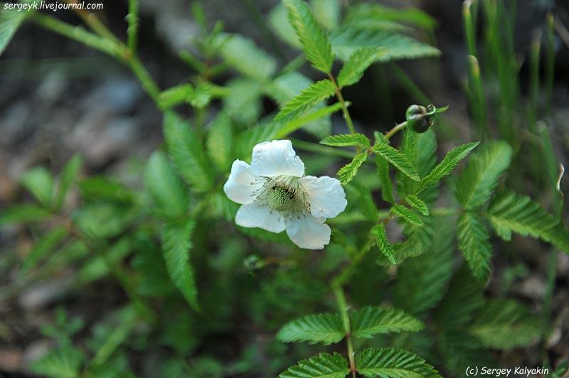 Rubus illecebrosus.JPG