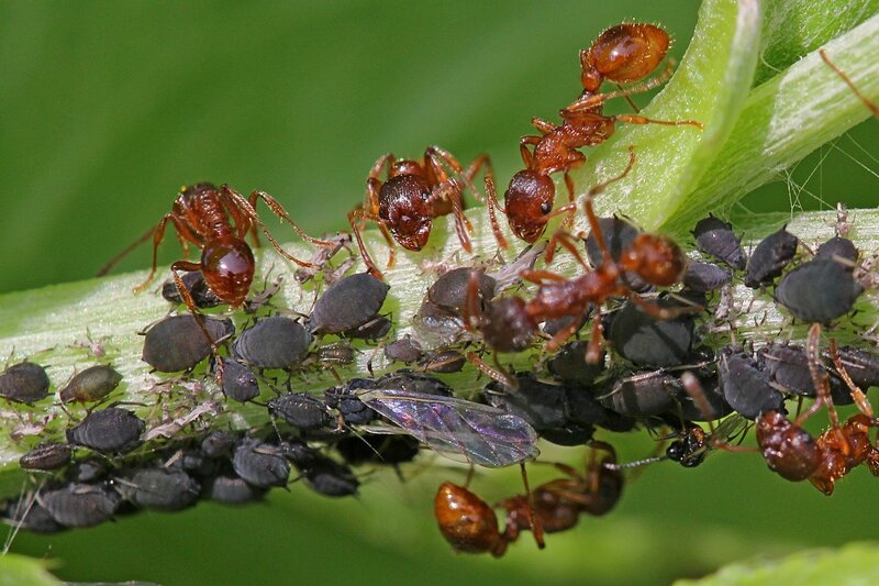 Муравьи на стебле растения создали ферму - разводят стадо тлей. Муравьи вида рыжая мирмика (лат. Myrmica rubra), чёрная тля и наездники-афелинусы, заражающие её.