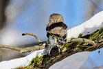 Воробьиный сыч, Glaucidium passerinum, Eurasian Pygmy Owl