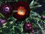 blumablooms