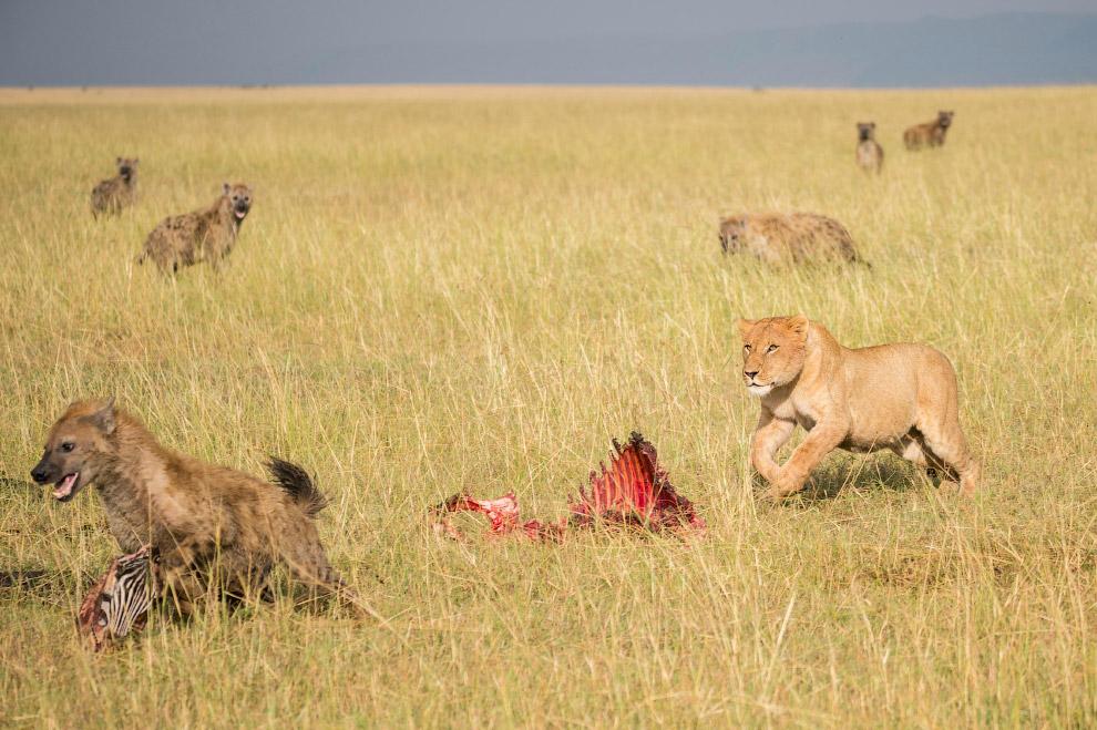 4. Львы пришли и стали отбирать добытую гиенами зебру. Лев, конечно, крупнее и сильнее гиены. Иногда