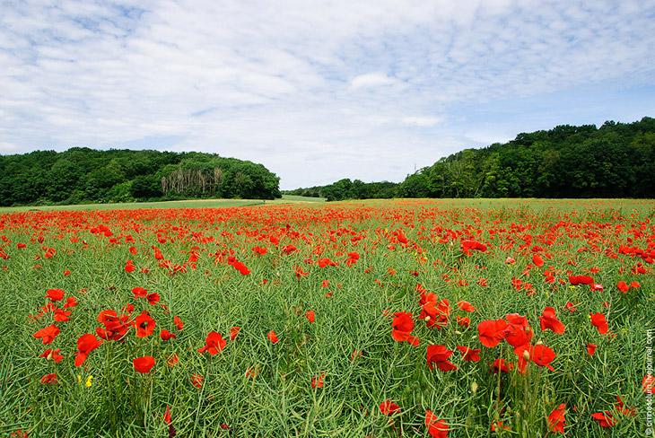 Французское маковое поле (23 фото)