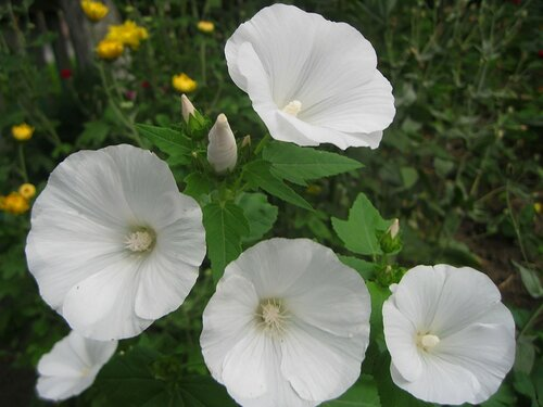 Белая лаватера