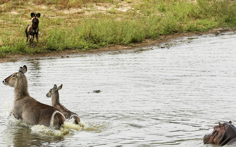 Жизнь-борьба: антилопы убежали от диких собак, избежали зубов голодного крокодила и злого гиппопотам