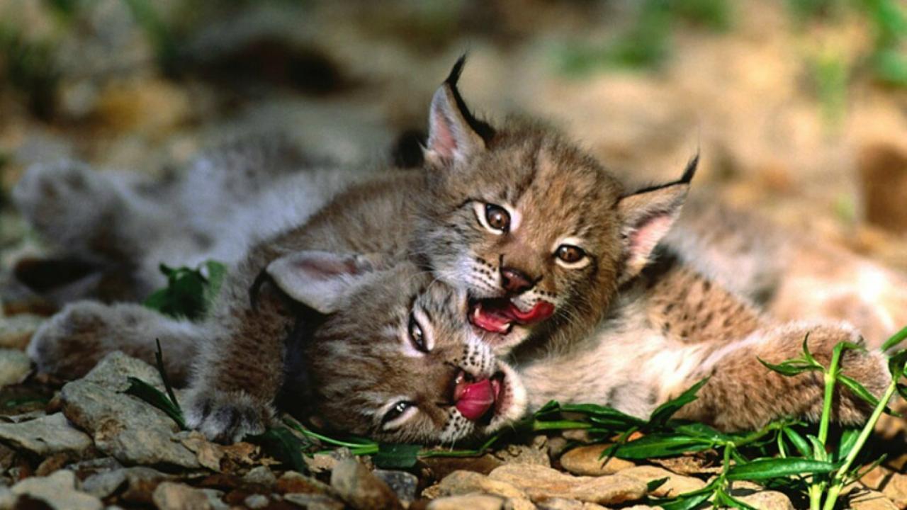 Maroosya wild cat