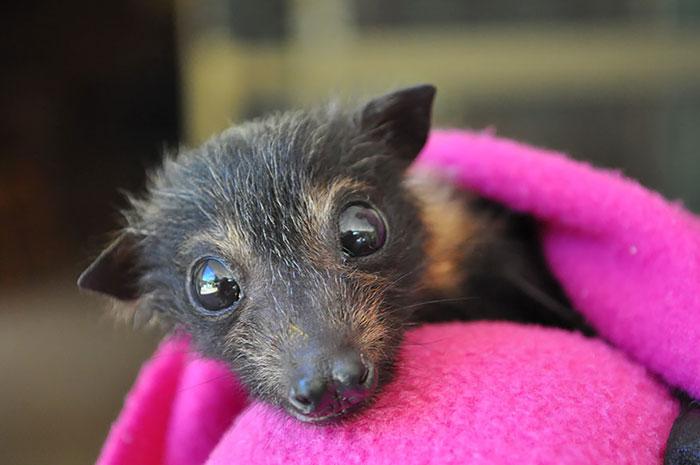Если Вы думаете, что летучие мыши — ужасные существа, то посмотрите на эти милые фото