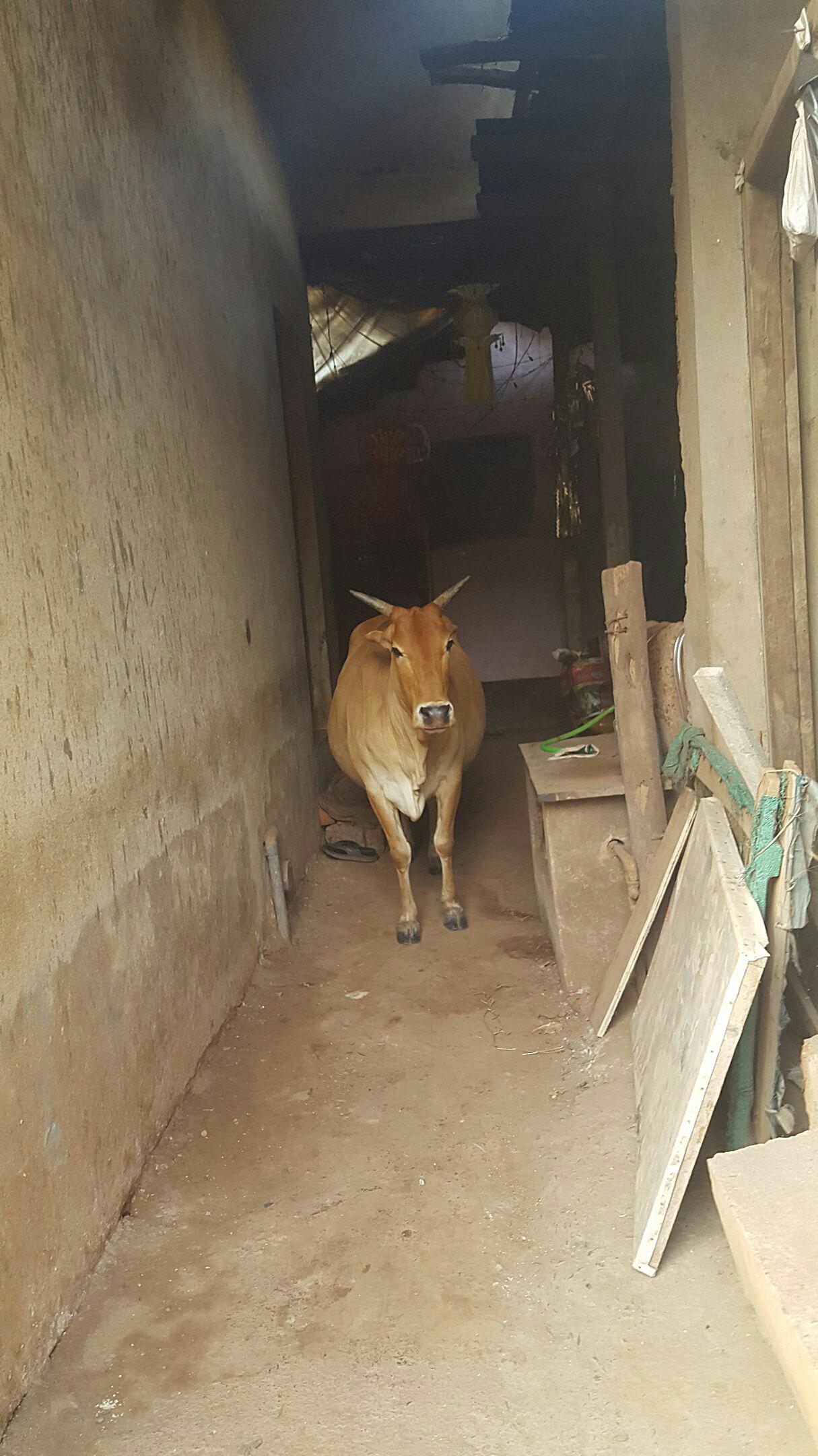 Корова в Гоа