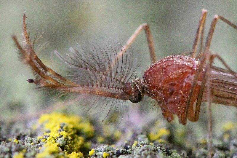 Самец-комар крупным планом: красноватое тельце и шикарные пушистые усы-антенны