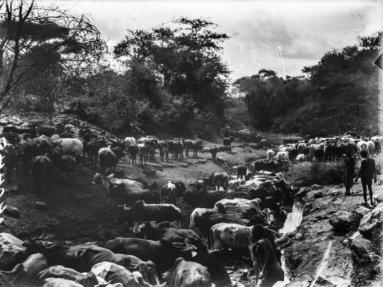 155. Стадо крупного рогатого скота и пастухи масаи