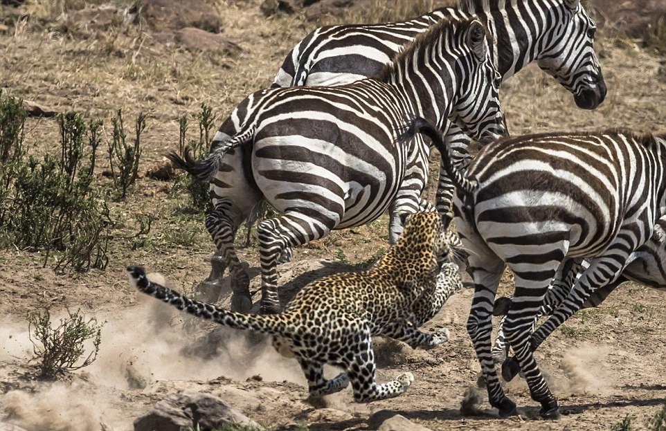 Это был не его день: леопард упустил антилопу и чуть не получил по зубам от зебры
