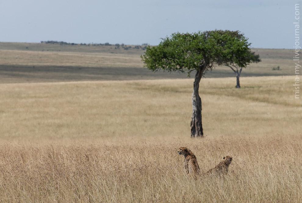 32. Прямо навстречу нашему автобусу на дорогу вывалилась беременная львица и всем видом показала, чт