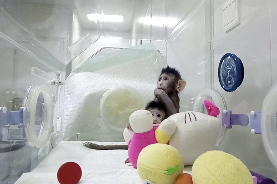 Как отметил Сун, проблему удалось решить, ускорив перенос ядра из «обычной» клетки обезьяны-донора в