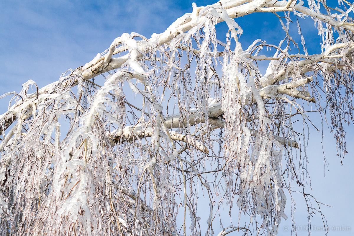 березы в снегу фото 2