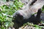 Малый серый капский мангуст в ЮАР