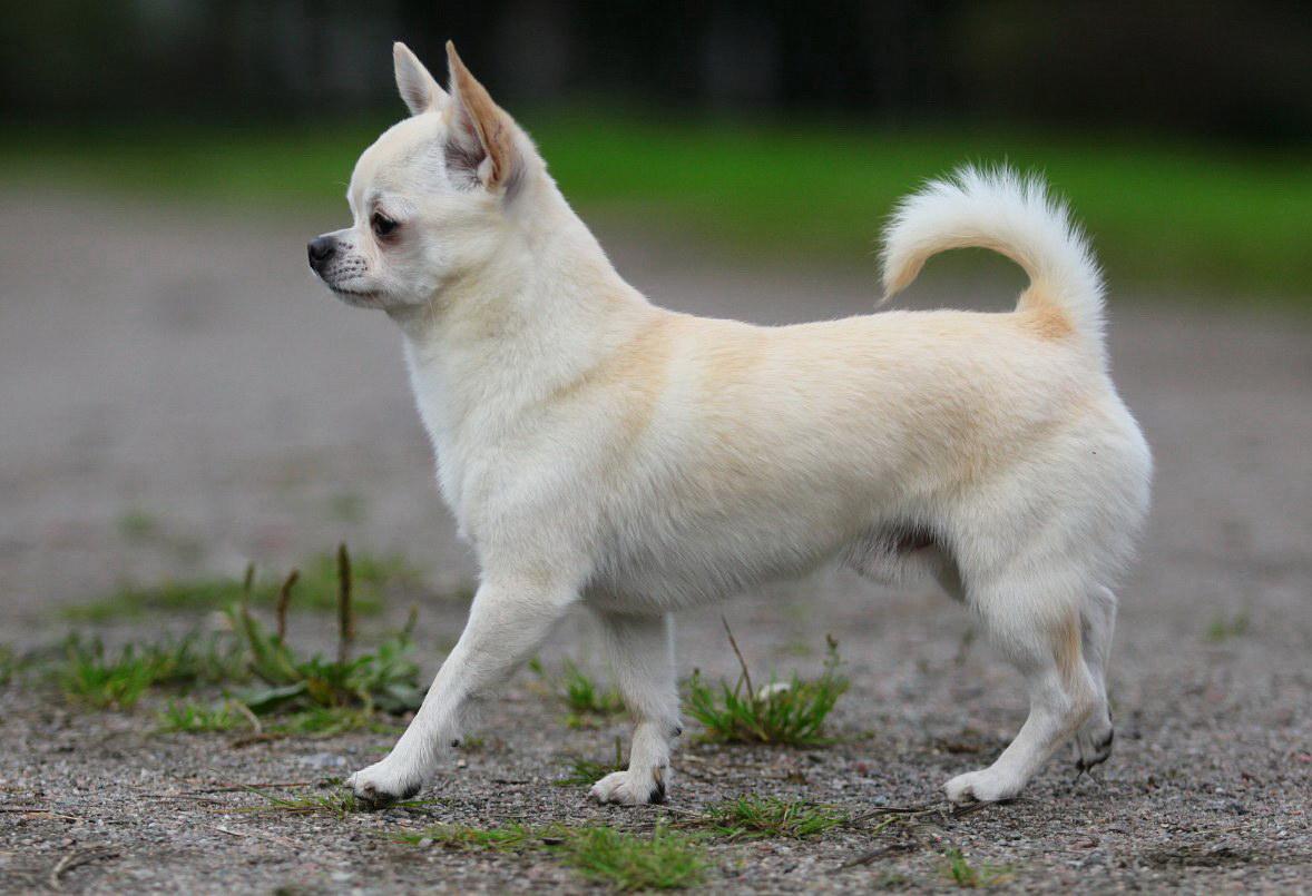 Гордий пес